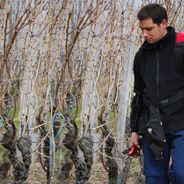 domaine-gresser-vins-alsace-taille-vigne-entretien-hiver-printemps-0
