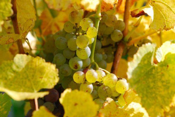 terroirs-domaine-gresser-vins-alsace-gewurztraminer